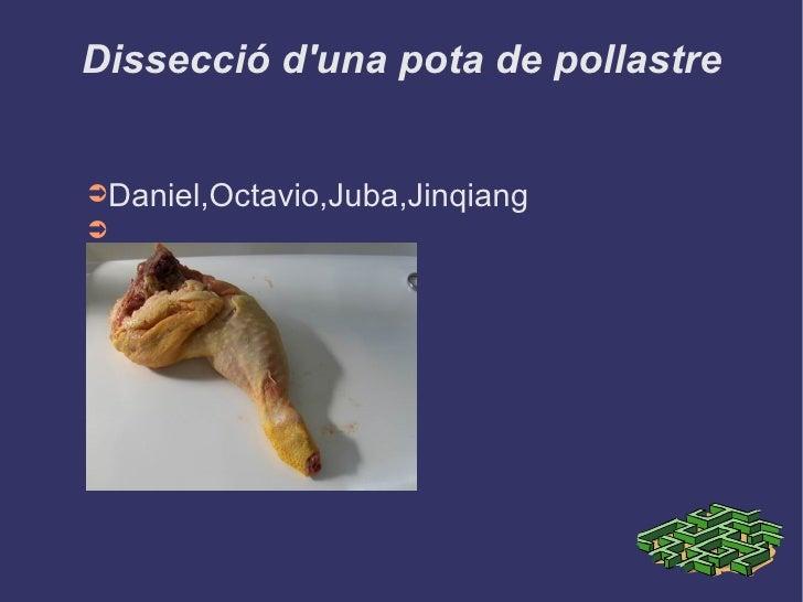 Dissecció d'una pota de pollastre <ul><li>Daniel,Octavio,Juba,Jinqiang </li></ul>