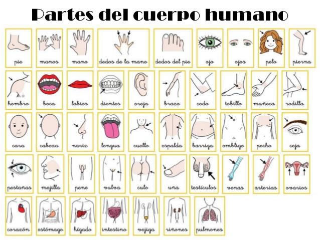 dibujo ilustrado parte cuerpo humano: