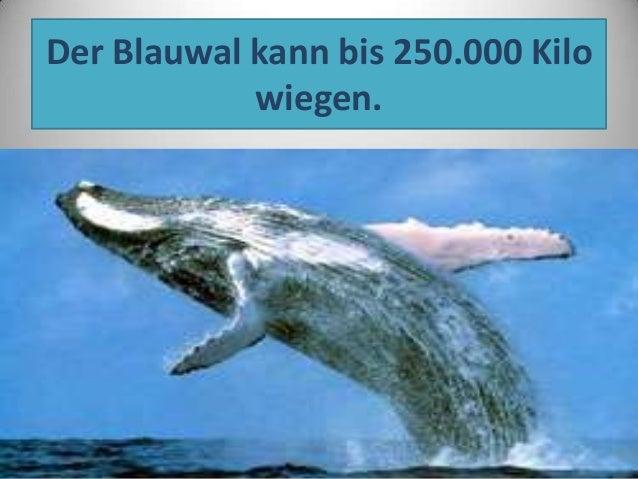 Der Blauwal kann bis 250.000 Kilo wiegen.