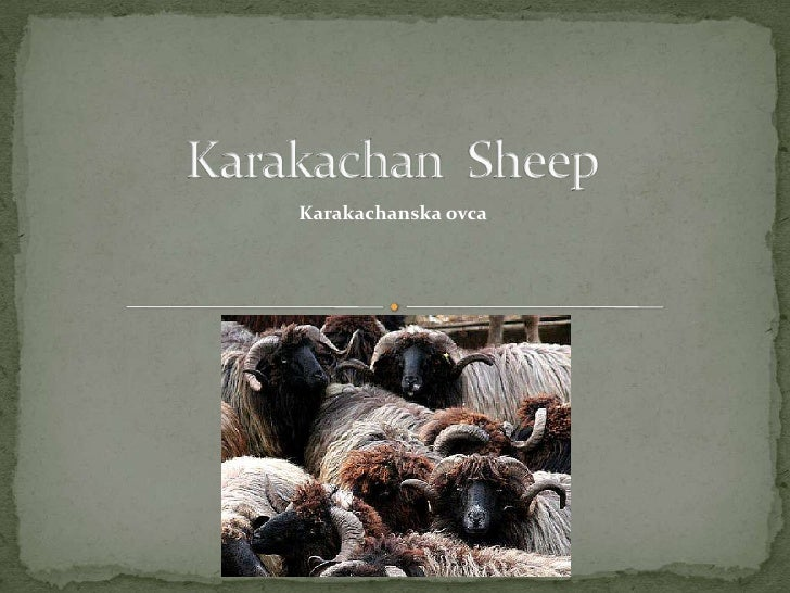 Karakachan  Sheep   <br />Karakachanskaovca<br />