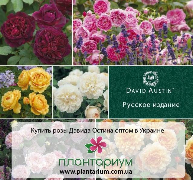 Купить розы остина в питомнике