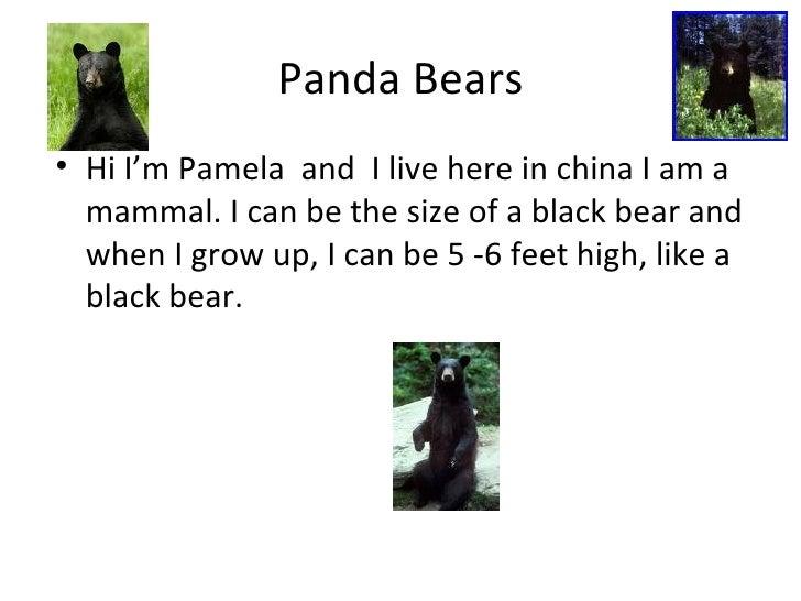 Panda Bears <ul><li>Hi I'm Pamela  and  I live here in china I am a mammal. I can be the size of a black bear and when I g...