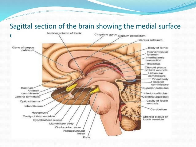 Brain And Spinal Cord Sagittal Section Sagittal Section of The Brain