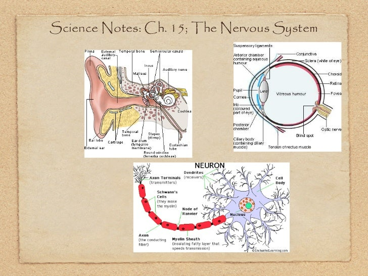 Science Notes: Ch. 15; The Nervous System