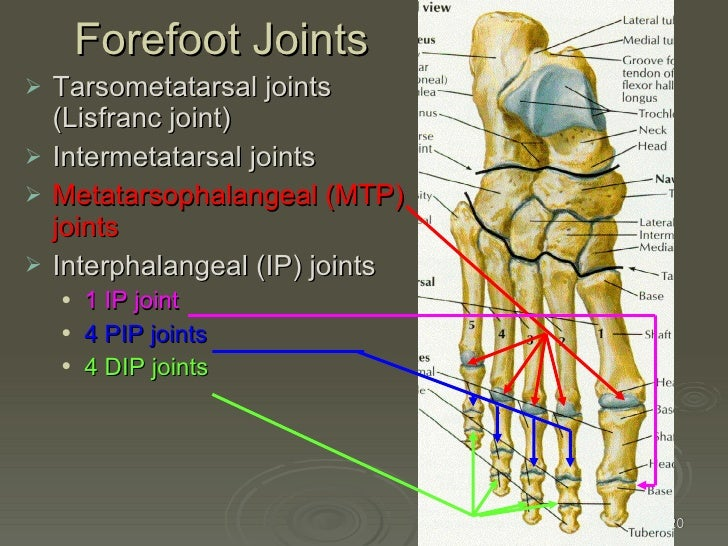 Anatomy of foot joints