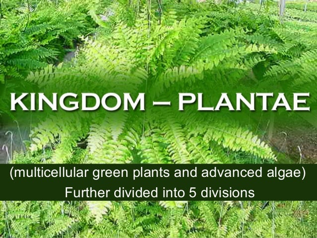 (multicellular green plants and advanced algae) Further divided into 5 divisions