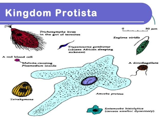 Kingdom Protista Definition