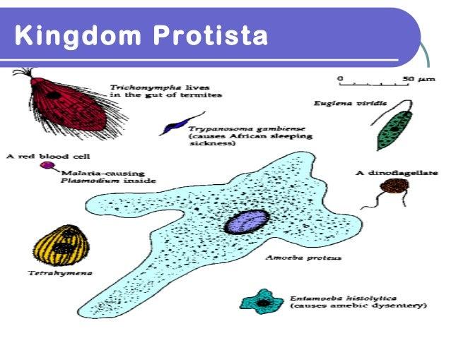 Kingdom protista 1 Kingdom Protista