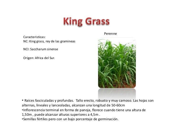 King grass pasto