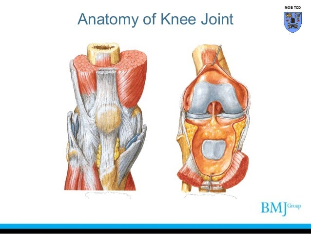 Knee muscles anatomy