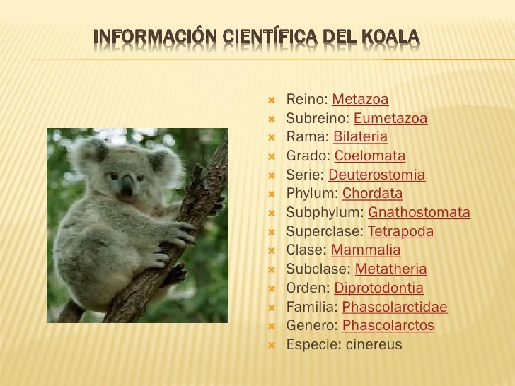 poemas de koalas