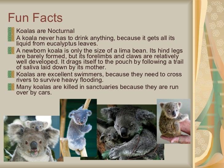 Interesting Koala Facts For Kids - Info