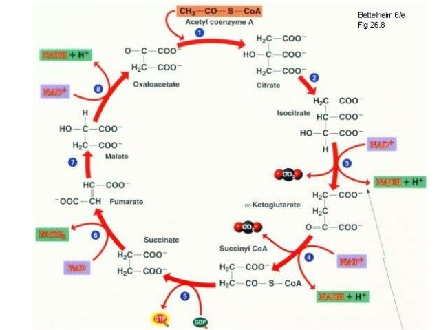 Citric Acid Cycle Products Kreb's Cycle or Citric Acid