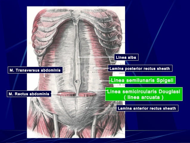 Kuliah Abdomen together with Anatomy Of Thalamus likewise B11FlyDV moreover Bryan Gross Anatomy Masticatory Lingual And Hyoid Muscles Winter 2010 969631 in addition 33 20BRACHIAL 20PLEXUS  20 POSITION  20TOPOGRAPHY  20DISTRIBUTION 20OF 20SHORT 20BRANCHES 20REPAIRED. on dorsal and ventral anatomy