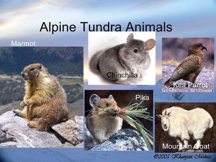 alpine tundra animals list