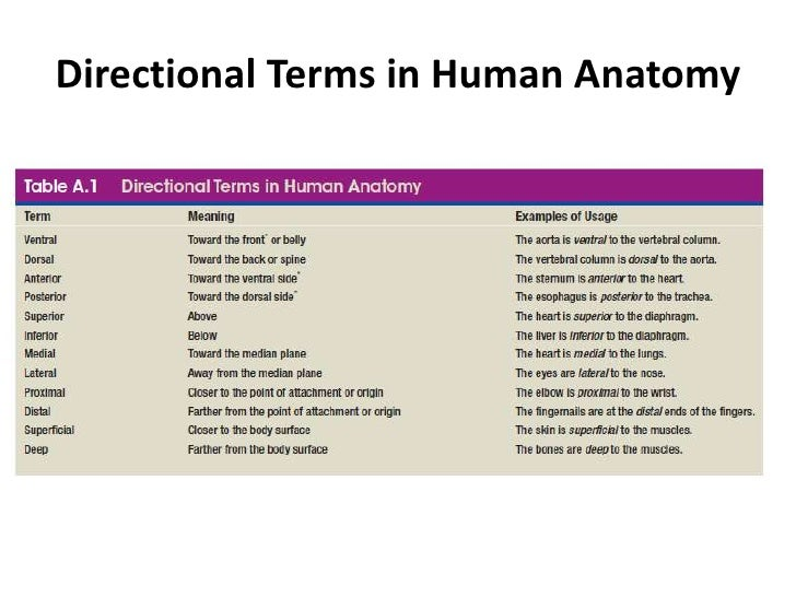 Have at least one other person edit your essay about Directional terms – Anatomy Directional Terms Worksheet