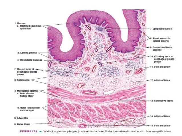 Lower stomach anatomy