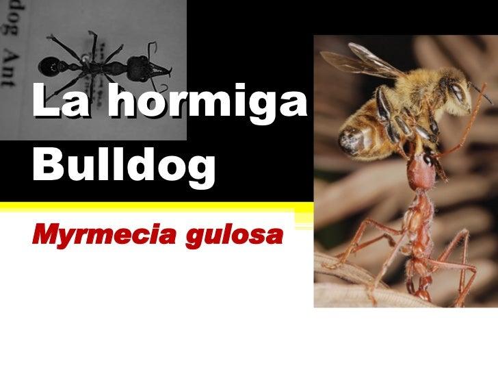 La hormiga Bulldog Myrmecia gulosa