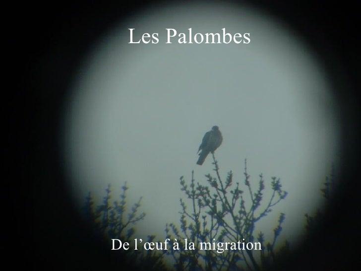 Les Palombes De l'œuf à la migration