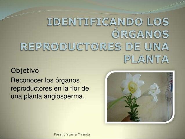 Objetivo Reconocer los órganos reproductores en la flor de una planta angiosperma.  Rosario Ybarra Miranda