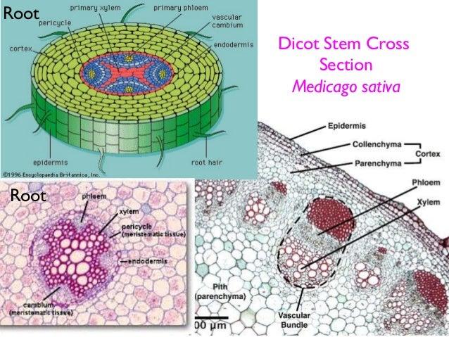 Dicots vs Monocots Cross Section Dicot Stem Cross Section