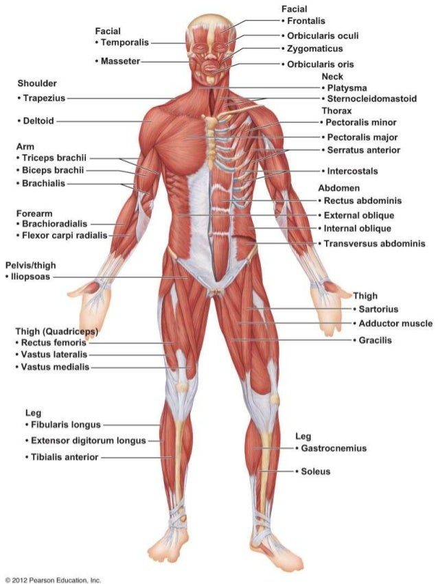 Ch 6 Lab quiz study practice anterior body muscles