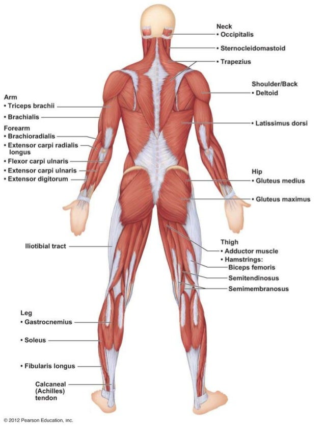 A & P Ch 6 Muscular System Lab Quiz Practice - Posterior Muscles