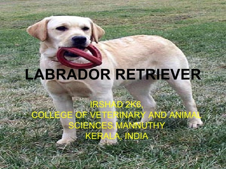 LABRADOR RETRIEVER IRSHAD 2K6, COLLEGE OF VETERINARY AND ANIMAL SCIENCES,MANNUTHY KERALA, INDIA