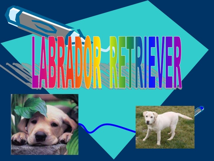 LABRADOR  RETRIEVER<br />