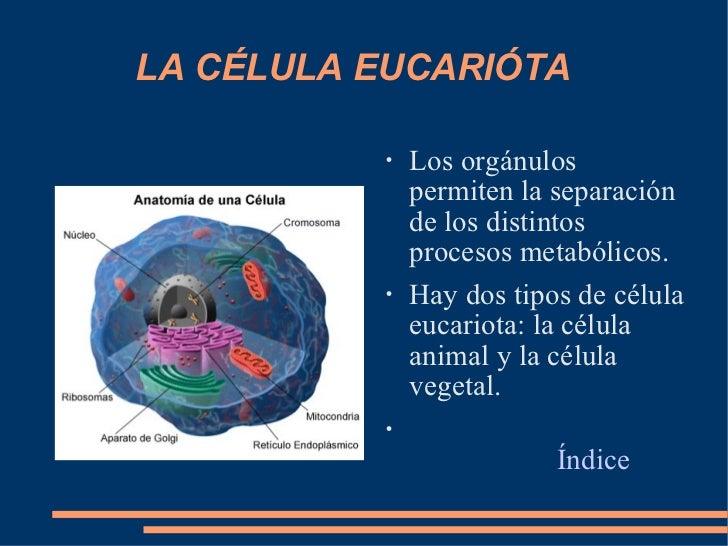 LA CÉLULA EUCARIÓTA <ul><li>Los orgánulos permiten la separación de los distintos procesos metabólicos. </li></ul><ul><li>...