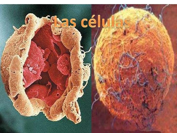 1.Las células.2.Como son las células.3.Funciones vitales de las células.4.Clases de células:·Célula animal y célula vegeta...