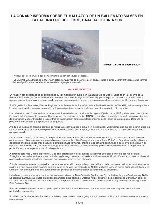 LA CONANP INFORMA SOBRE EL HALLAZGO DE UN BALLENATO SIAMÉS EN LA LAGUNA OJO DE LIEBRE, BAJA CALIFORNIA SUR  México, D.F., ...