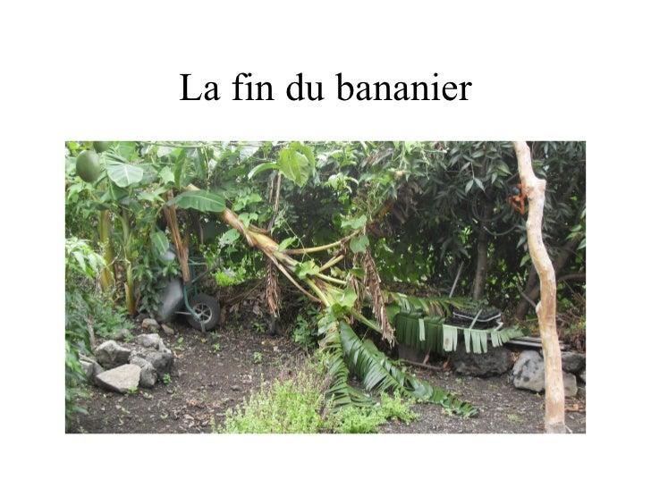 La fin du bananier