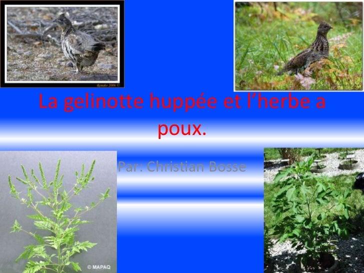 La gelinotte huppée et l'herbe a poux.<br />Par: Christian Bosse<br />