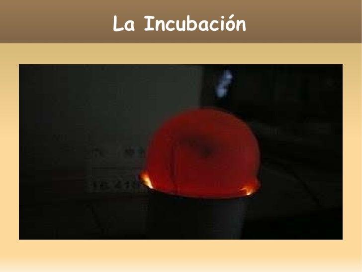 La incubación