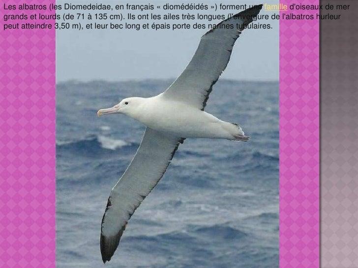 Les albatros (les Diomedeidae, en français «diomédéidés») forment une famille d'oiseaux de mer grands et lourds (de 71 à...