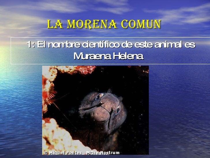 LA MORENA COMUN 1: El nombre científico de este animal es   Muraena Helena