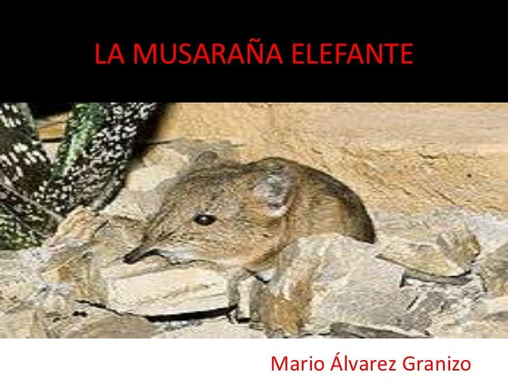 LA MUSARAÑA ELEFANTE           Mario Álvarez Granizo