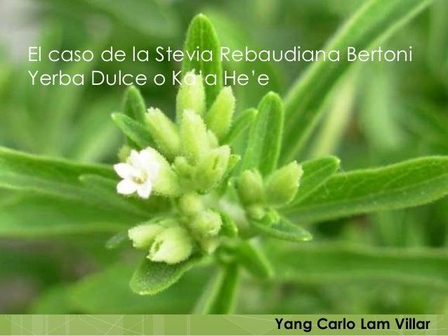El caso de la Stevia Rebaudiana BertoniYerba Dulce o Ka'a He'e                         Yang Carlo Lam Villar