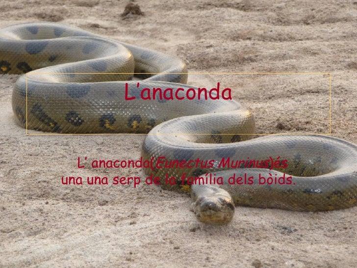 L'anaconda  L' anaconda(Eunectus Murinus)ésuna una serp de la família dels bòids.