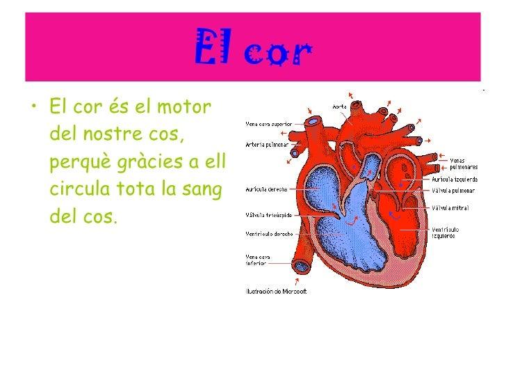 El cor <ul><li>El cor és el motor del nostre cos, perquè gràcies a ell circula tota la sang del cos. </li></ul>