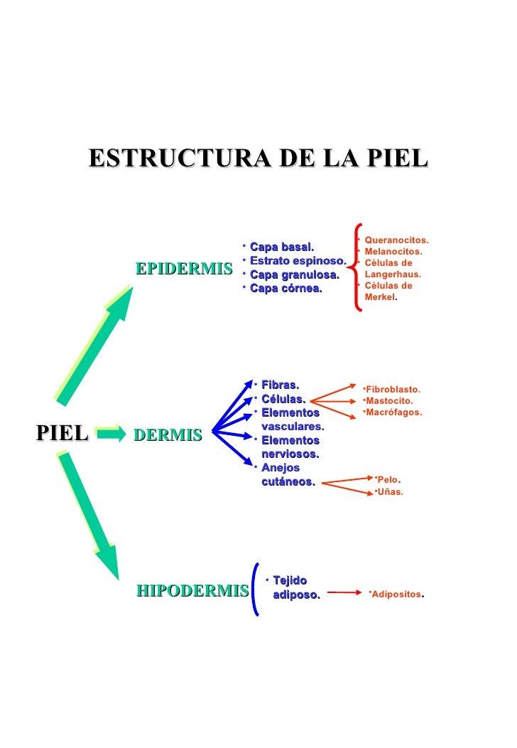 ESTRUCTURA DE LA PIEL EPIDERMIS <ul><li>Capa   basal. </li></ul><ul><li>Estrato espinoso. </li></ul><ul><li>Capa granulosa...