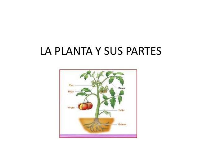La planta y sus partes por viviana sanchez for Bedroom y sus partes en ingles