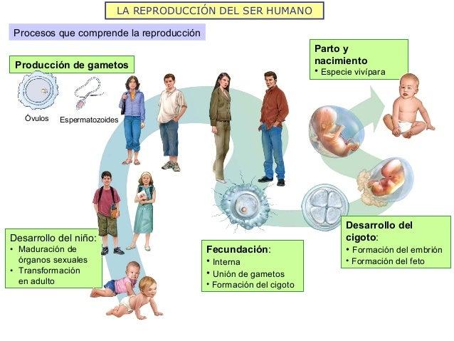 Resultado de imagen de la reproduccion en los seres humanos