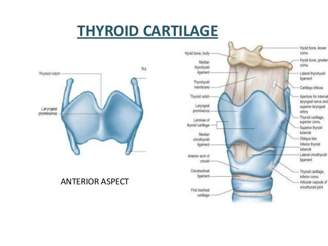 CH22 Larynx