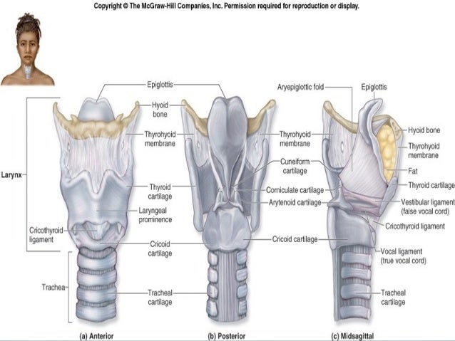 Larynx anatomy ct