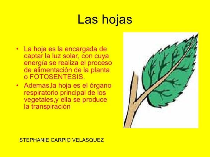 Las hojas <ul><li>La hoja es la encargada de captar la luz solar, con cuya energía se realiza el proceso de alimentación d...