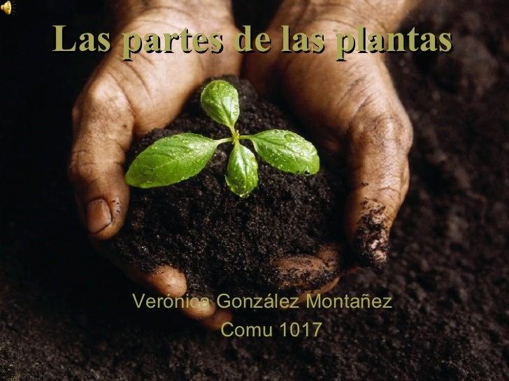 Verónica González Montañez Comu 1017 Las partes de las plantas