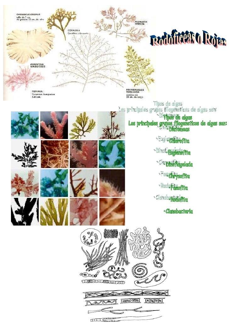 """Las algas pardas (""""huiros"""") son organismos morfológicamente diversos, los podemos encontrar sólo en agua de mar y con form..."""