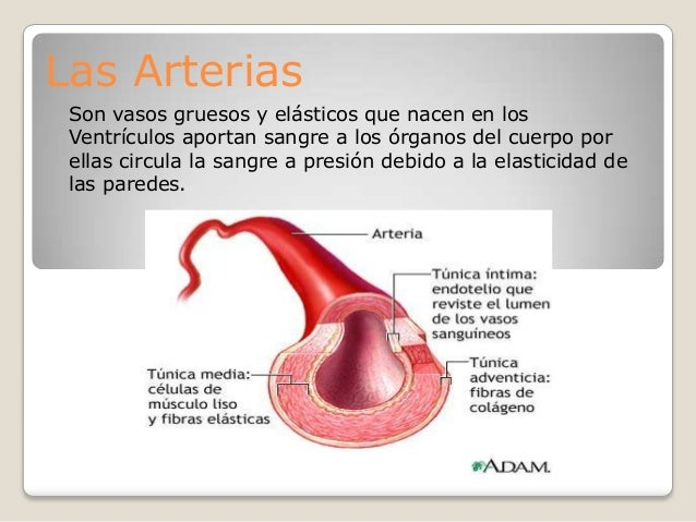 Las Arterias Son vasos gruesos y elásticos que nacen en los Ventrículos aportan sangre a los órganos del cuerpo por ellas ...
